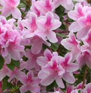 Azaleia - Flor de inverno