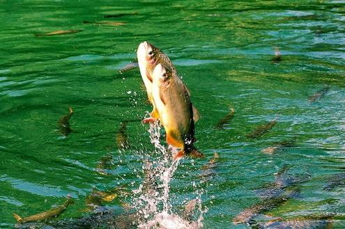 Rio Paranapanema ganha cem mil novos peixes