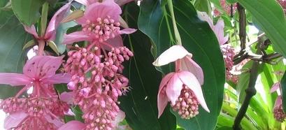 Medinilla Magnífica: a planta do momento