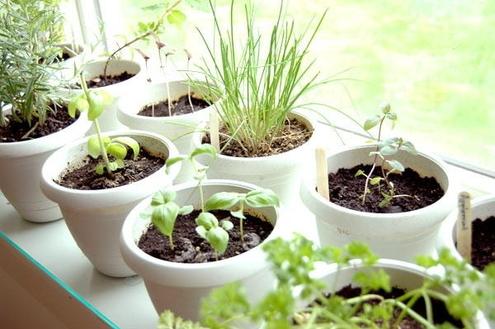 Como cultivar ervas para infusões em casa