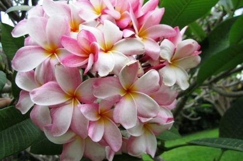 O aroma e as cores do jasmim-manga