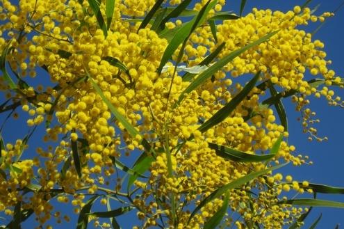 Acácia-dourada: a bela árvore de mil e uma utilidades