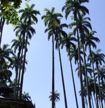 A majestade da palmeira imperial